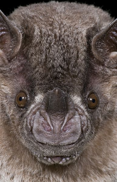 leaf-nosed bat by Steve Gettle