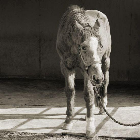 As belas e tocantes fotografias em preto e branco de animais idosos de Isa Leshko