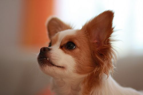 Get Your Small Dog To Stop Biting And Barking At You