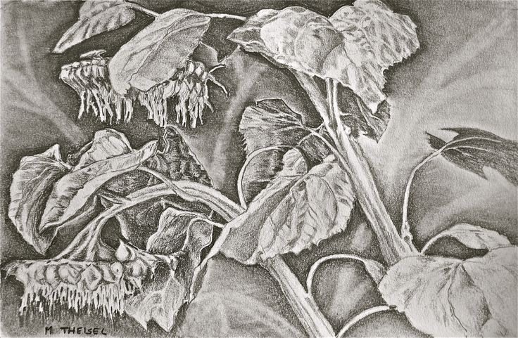 Sunflowers, seeding. A sketch in graphite.