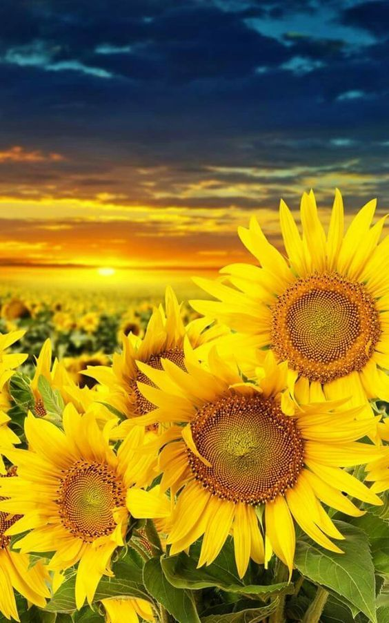 Sunflower beauty   Sunflower pictures, Sunflower wallpaper ...