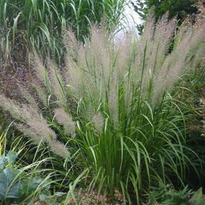 Looking forward to trying Calamagrostis Caspian a new more upright and floriferous variety of an old favorite Korean Feather Reed grass