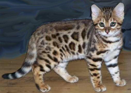 Bengal cat for sale cleveland ohio