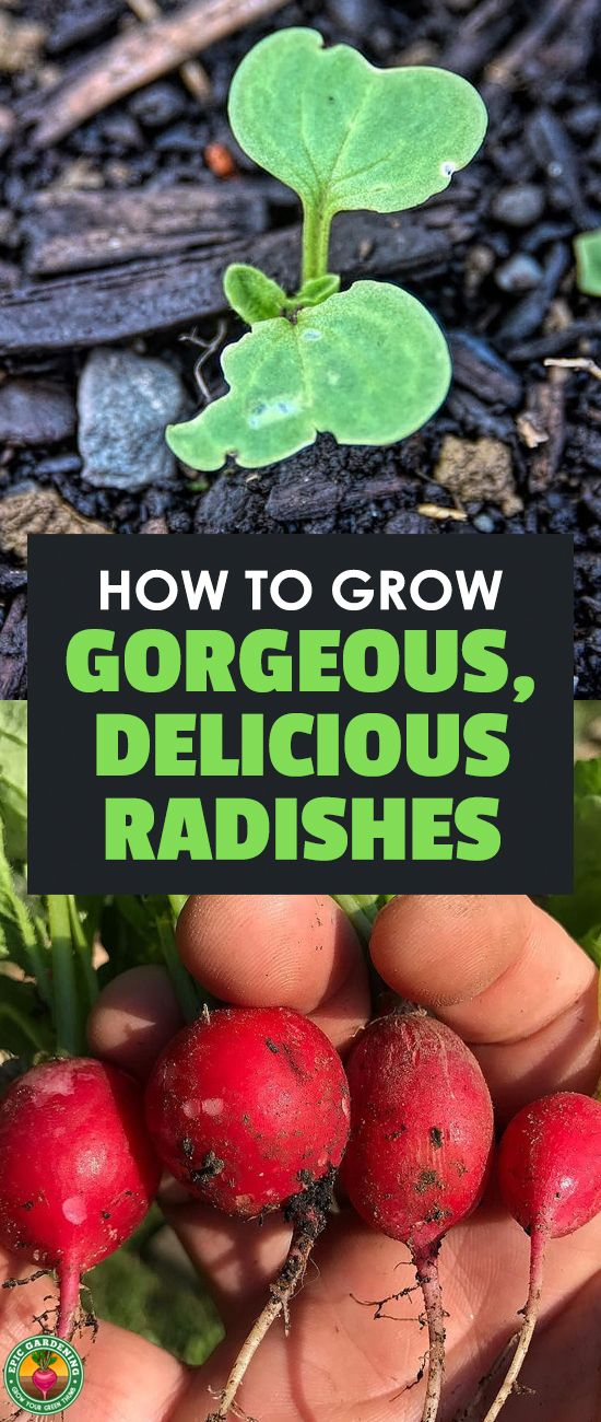 Radishes are one of the fastest and easiest vegetables to grow in your garden, making them great for beginners. Learn how to grow radishes in this guide. #radish #gardening #epicgardening