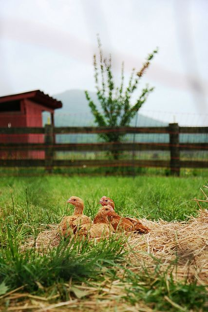 There is something comforting about the soft clucks of chickens in my garden