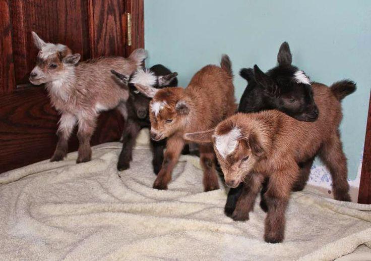 The Thrifty Homesteader: How many kids can a doe goat feed? babies, bucks, doelings, bucklings, kidding, raising naturally, birthing, food, bottle feeding, how much milk is needed, Nigerian, dwarf, nursing, nurse, growth problems