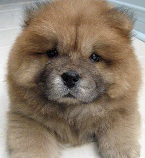 Chow Chow Puppy - Ughh Want One Of These Someday :P!