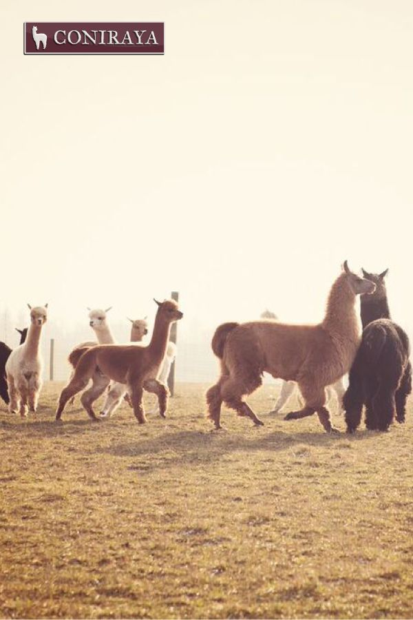 Where are we going? Do you know? I don't! :D #alpacas #coniraya #alpakino #alpaca