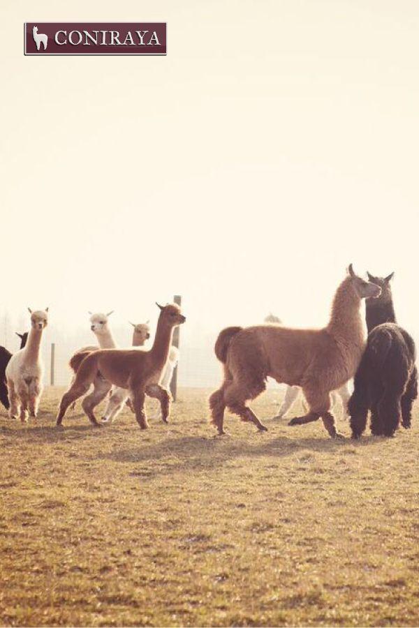 Where are we going? Do you know? I don't! :D #alpacas #coniraya #alpakino #alpaca