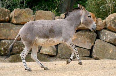 3African Wild Ass | Endangered Animals List For Kids