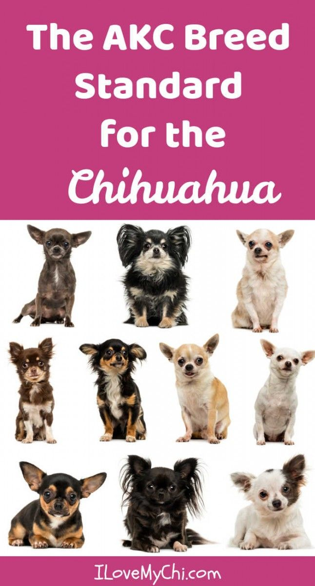 The Akc Breed Standard For The Chihuahua Big Dog Little Dog