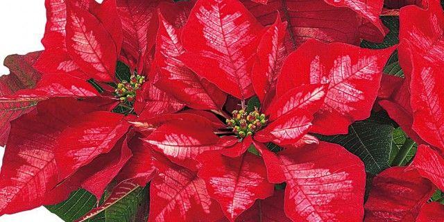 Stella di Natale: le cure per farla durare