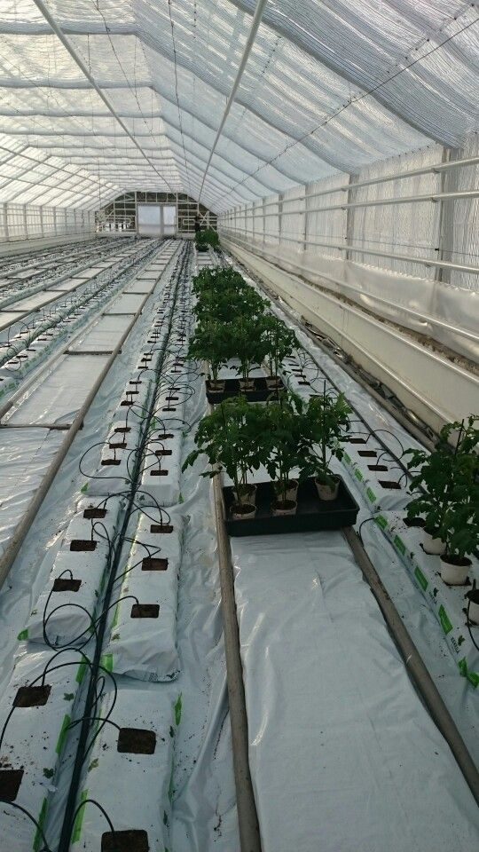 Planting tomatoes in the greenhouse