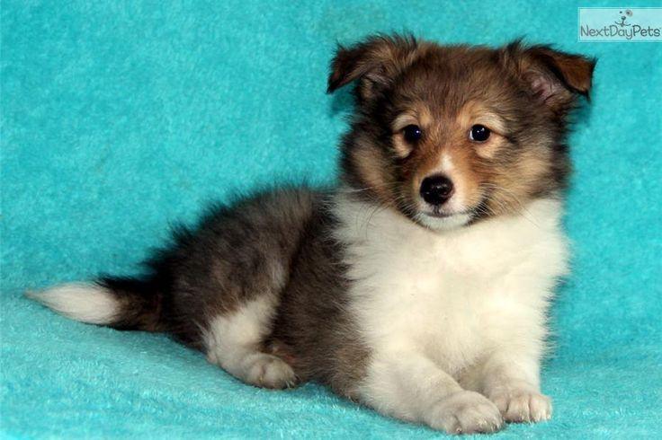 Jerry   Shetland Sheepdog - Sheltie puppy for sale near Rochester, New York   b56f2b11-0971