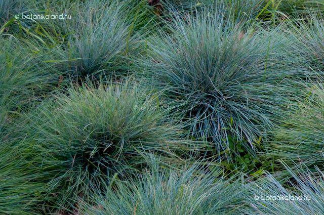 A kék vagy deres csenkesz egy alacsony növekedésű, télálló, fél-örökzöld díszfű, mely keskeny acélkék vagy kékesszürke leveleivel félgömb alakú, tömött párnát képez az ágyások szélén vagy a sziklakertekben.
