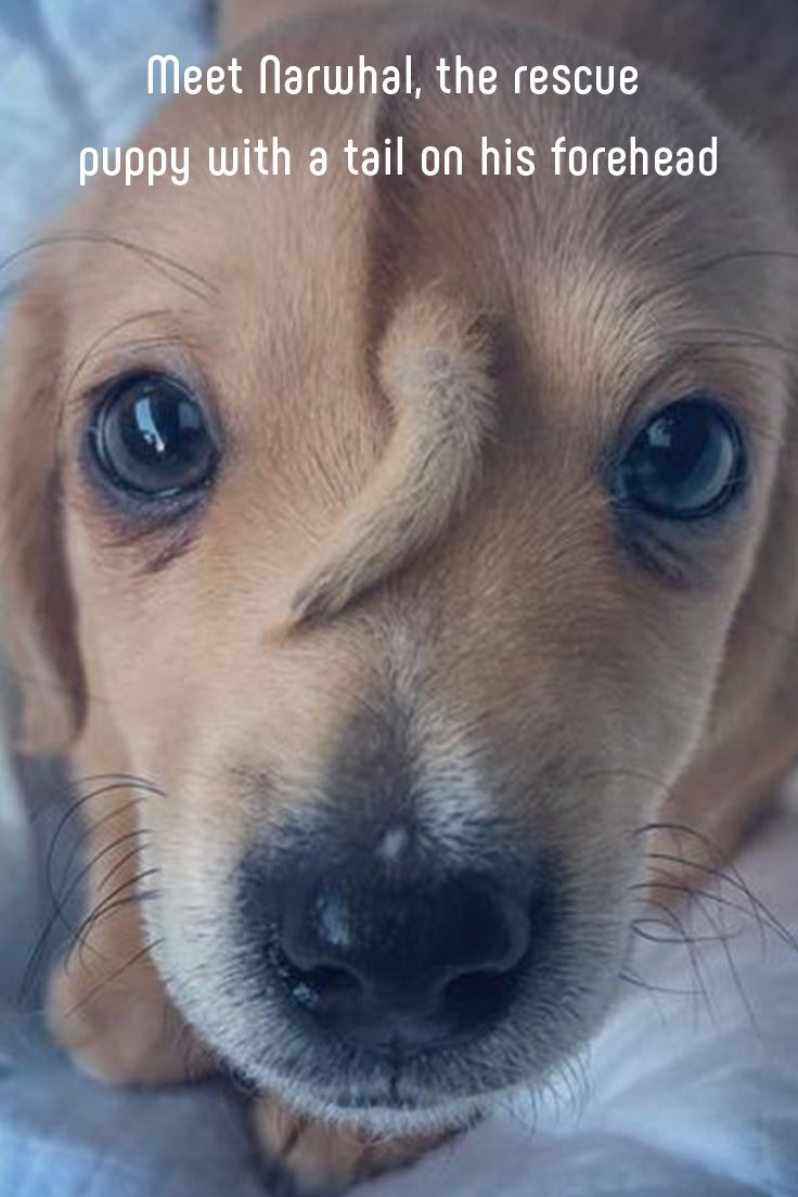 Meet Narwhal, the rescue puppy with a tail on his forehead