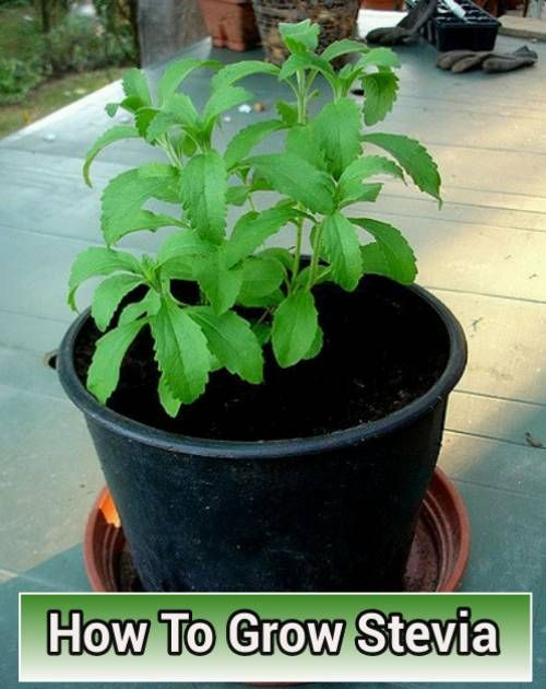 Growing Stevia How To Plant Grow And Harvest Stevia: 832 Best Images About Homestead Lifestyle On Pinterest