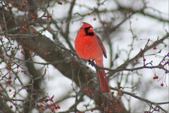 birds: Animals, Winter, Inspiring Photos, Pictures, Birds, Cardinals