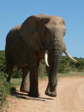 """Rund um Kapstadt kann man eine Menge """"wilder"""" Sachen erleben...Unzählige Safari-Trips laden in die Natur ein."""