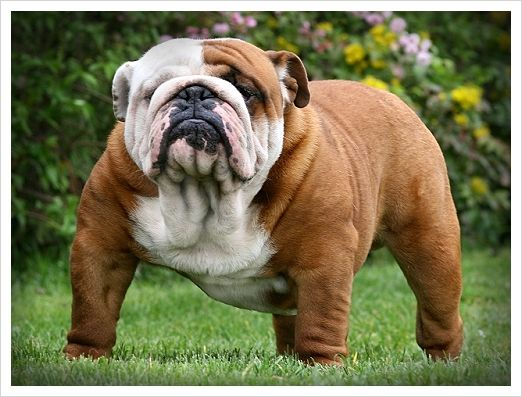 Bulldog is the name for a breed of dog commonly referred to as the English Bulldog. Other Bulldog breeds include the American Bulldog, Olde English Bulldogge and the French Bulldog