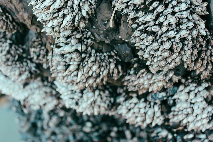 Gooseneck barnacles!  the wayward whale