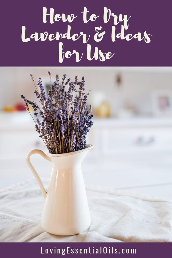 How To Dry Lavender Ideas For Use By Loving Essential Oils Learn The Steps To Drying Bundles Of Lavender In 2020 Dried Lavender Flowers Lavender Uses Lavender Plant