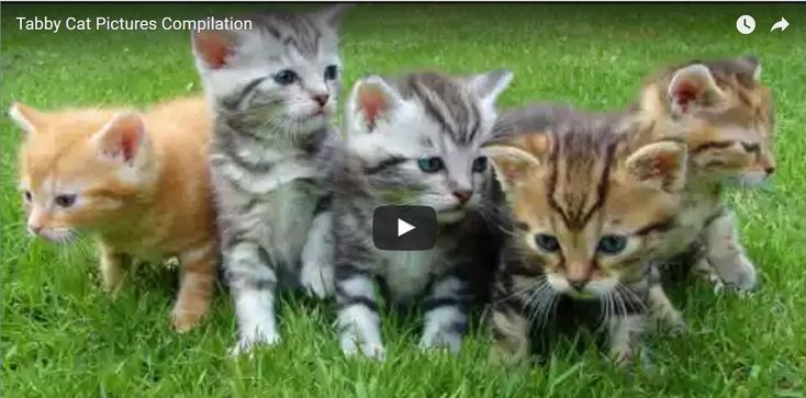 Tabby Cat Pictures Video Compilation