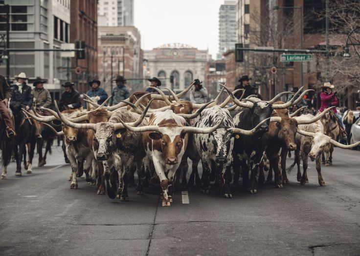 Top Shot: Bulls on Parade Old Denver and new Denver collide as the National Western Stock Show kicks off with a parade of bulls through downtown Denver. Photograph by Brett Stakelin