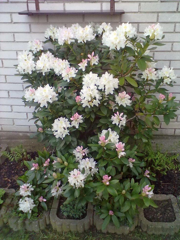 Kvetoucí rodonendron ......