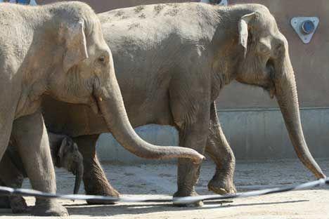 La administración moscovita donará dos hembras de elefante africano al zoológico de Valencia. Los animales se encontraban en España temporalmente. Esta decisión fue  tomada tras la reunión del ayuntamiento de la capital rusa el pasado 5 de abril. Tal y como informa Interfax, Luidmila Shvetsova, vicealcaldesa de Moscú, fue la sugirió regalarlos al zoo de la capital del Turia.