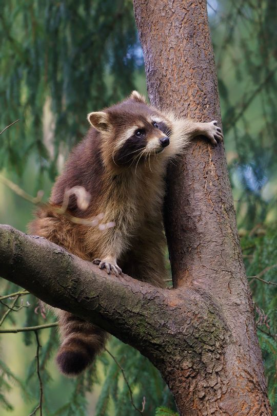 tulipnight: Raccoon on the tree (Waschbär) by matthias.foto on Flickr