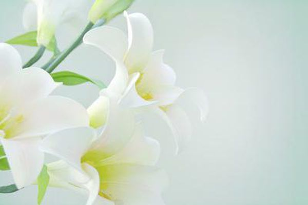 Four white lily flowers.