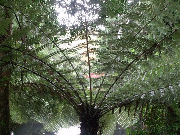 NZ Silver Fern (Cyathea dealbata), our national sporting logo