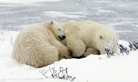 14 Fascinating Facts About Polar Bears - Imgur