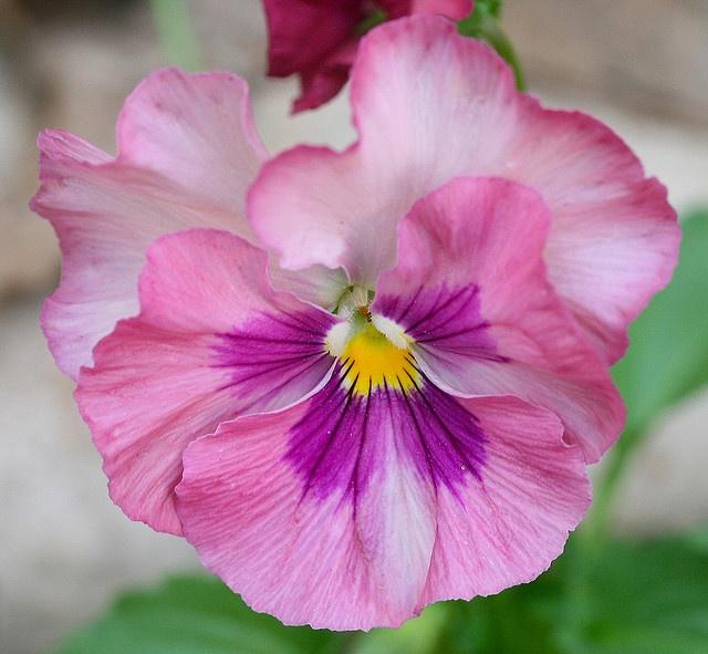 pretty pink pansy: Rose Gardens, Pink Ruffles, Flowers Teas, Pretty Pink, Pale Pink, Pansies Flowers, Pink Pansies, Edible Flowers, Flowers Seeds