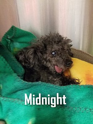 Henderson Nc Poodle Miniature Meet Midnight A Pet For