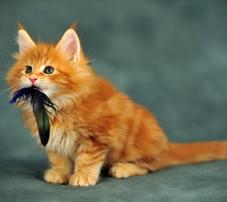 Maine Coon kitten...