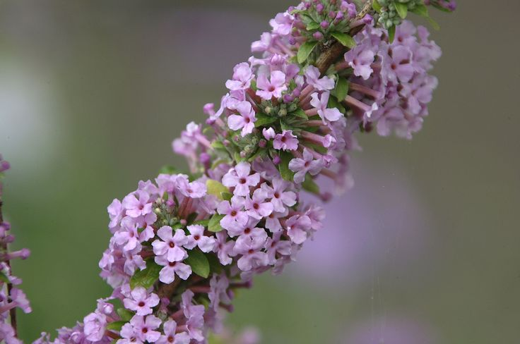 Plant profile of Buddleja alternifolia on gardenersworld.com