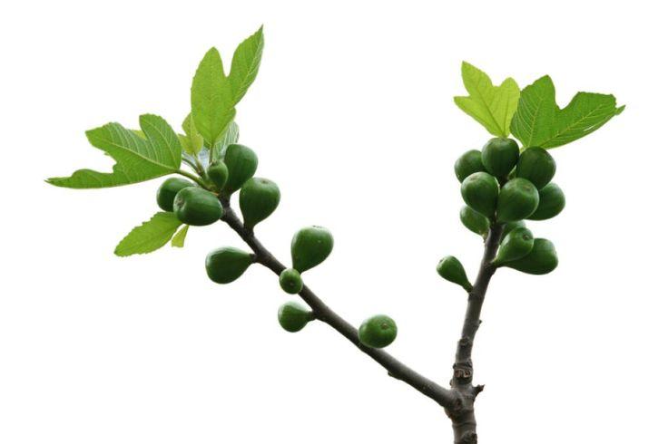 Feigenbaum Pflege