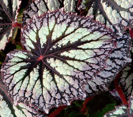 As begônias pertencem à família da begoniáceas e são plantas de vaso, podendo ser cultivadas em jardins. A maioria das variedades de begôni...