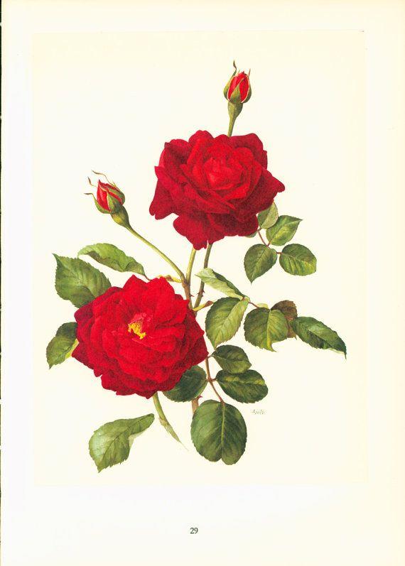 1950 Red Rose Soraya, antique rose print , botanical