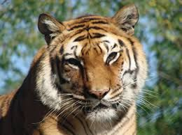 Tigre au parc du Reynou #Limousin