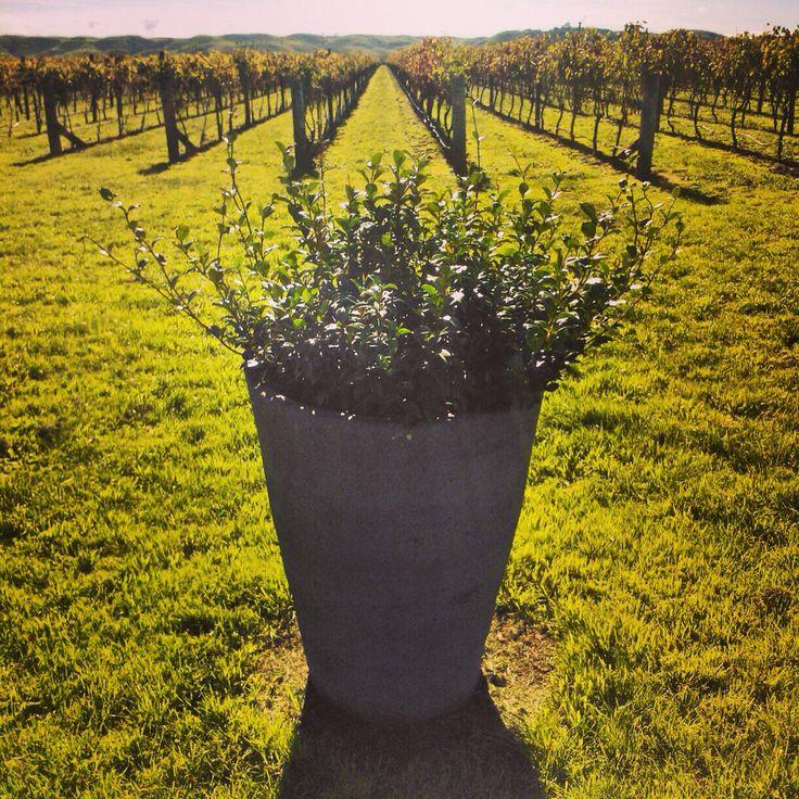 Vineyard in New Zealand