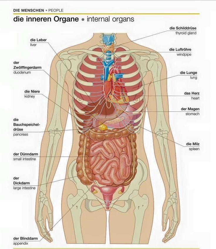 Großzügig Lage Der Organe Im Körper Bilder - Menschliche Anatomie ...