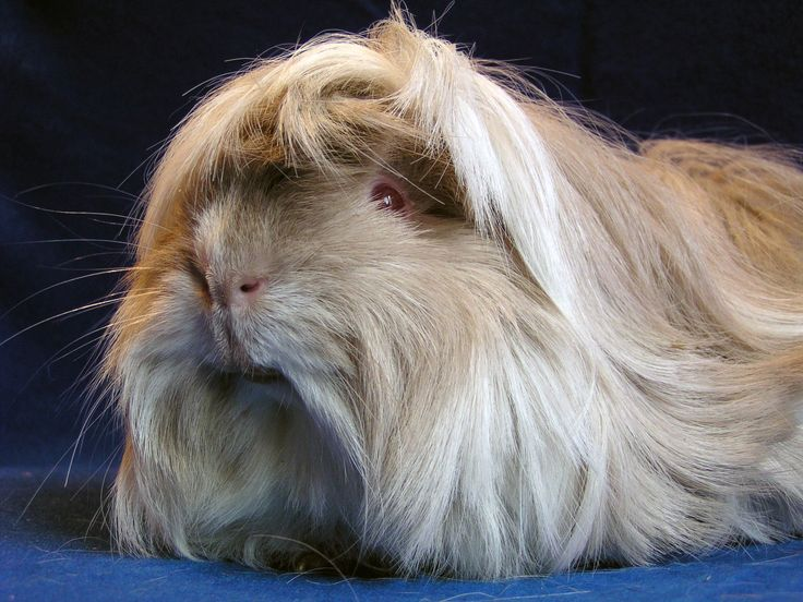 Peruvian cavy breed