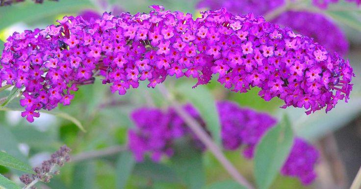 Der Sommerflieder ist einer der schönsten Blütensträucher im hochsommerlichen Garten und lockt mit seinen großen Blütenkerzen zahlreiche Schmetterlinge an. Hier lesen Sie, wie Sie ihn erfolgreich vermehren können.