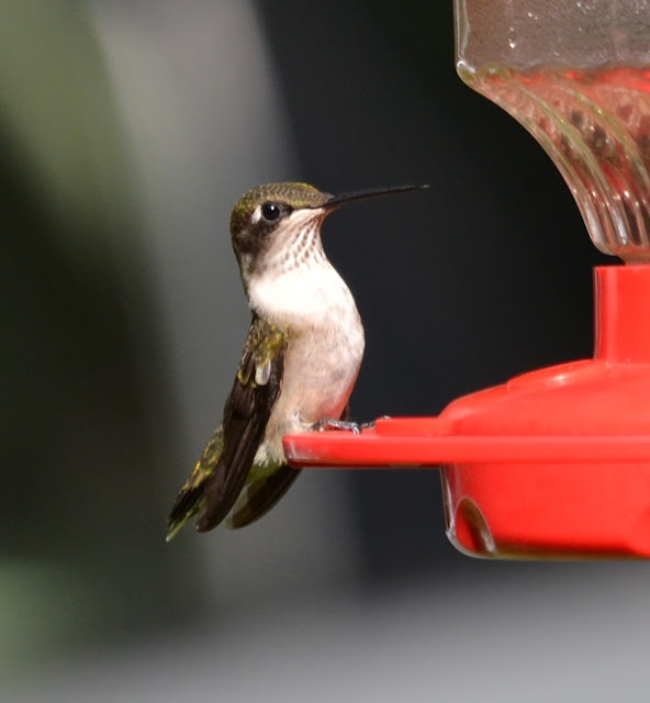 4 to 1 ratio. Boil & cool. On Stephen King...and Hummingbirds: A