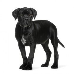 Il cane corso è una delle razze più antiche. Di origine Italiana, oggigiorno lo si ritova solo in alcune regioni. Docile, affettoso, facilmente addestrabile è un esempio di lealtà.
