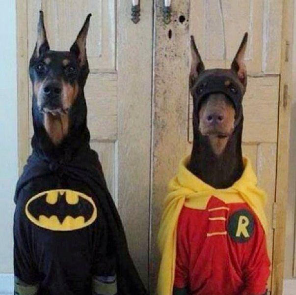 Batman & Robin Dogs via @HuffPostComedy #HappyAlert #Pets