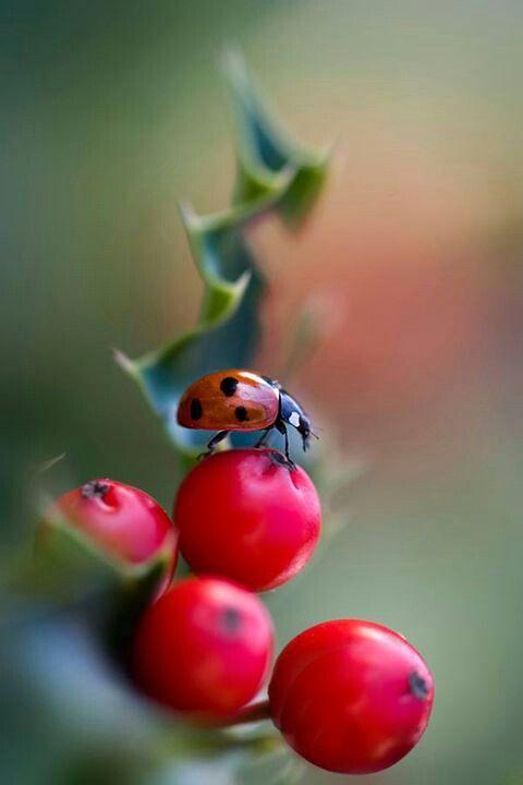 "Gary: ""L@d1 nCr%$!"" (Ladybug on cranberries) lady bug ..."